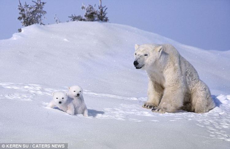 Зимние забавы белых медвежат и их мамы в национальном парке Васпуск в